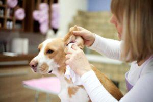 Как правильно чистить уши животным и почему для чистки ушей нельзя использовать ватные палочки, рассказывает ветеринарный врач-дерматолог Неганова Валентина Владимировна.