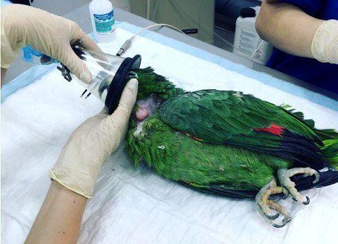 Ингаляционный наркоз для попугая