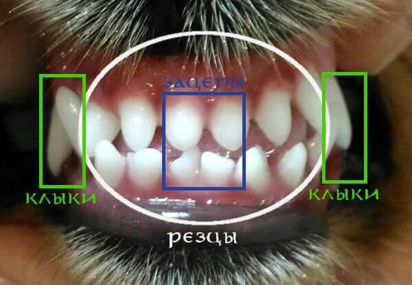 Определение возраста собаки по зубам