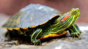 Статья про содержание красноухих черепах в домашних условиях. Как обустроить акватеррариум, обеспечить правильный температурный режим, уф-облучение и кормление.