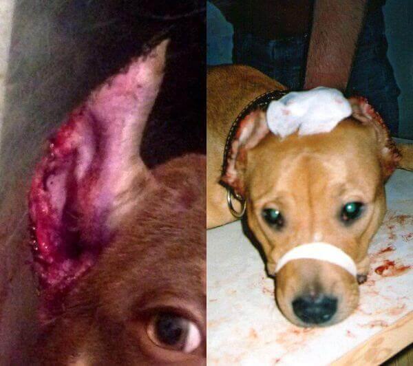 Не правильно купированные уши у собак
