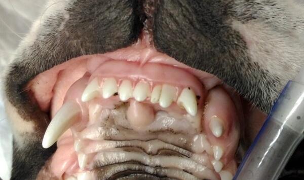 Персистирующий зуб