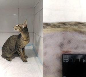 Ранняя кастрация собак и кошек, её причины и подготовка к операции. Рассказывает Гиль Вероника Юрьевна, ветеринарный хирург и главный врач ветеринарной клиники.