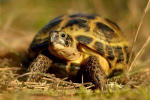 Герпетолог Беломытцева Н. В. рассказывает про содержание среднеазиатских черепах в неволе: особенности, обустройство места содержания, кормление, поение и т.д.