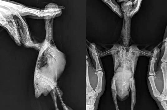 Туберкулёз у птицы