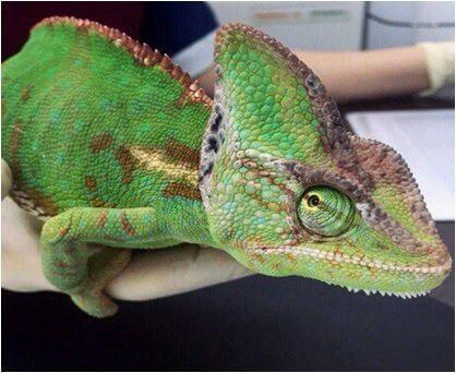 Хамелеон на приёме в Ветеринарной клинике доктора Гиль