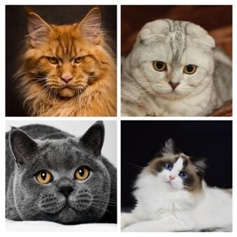 Кошки-сердечники