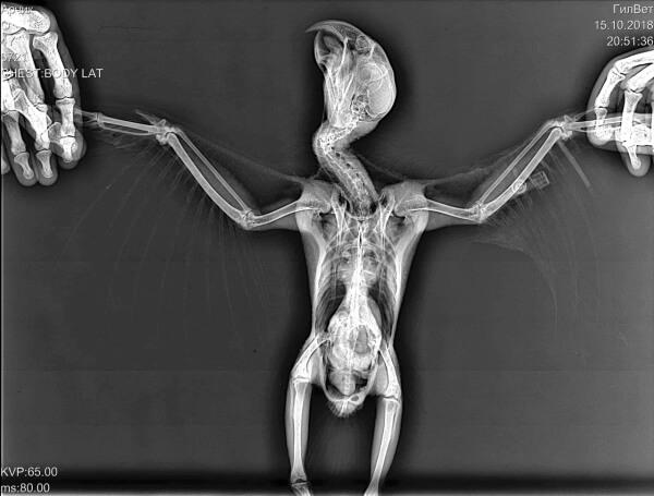 Дорсовентральная проекция: птица лежит на спине, крылья широко симметрично растянуты в стороны, килевая кость находится строго над позвоночником, тазовые конечности максимально вытянуты вниз, расположены параллельно друг другу.
