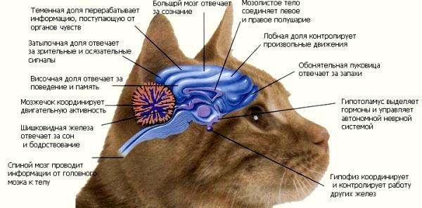ЦНС кошки