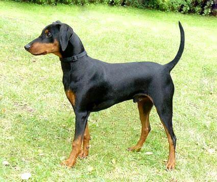 Пример некупированной собаки породы цвергпинчер.